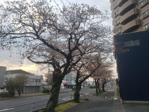 山口徳山班 桜🌸